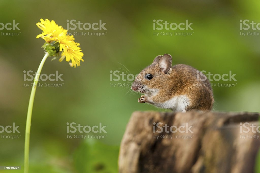 wood mouse in habitat stock photo
