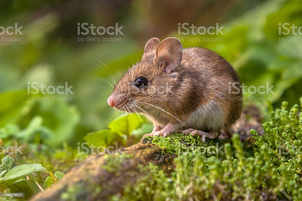 Wood mouse in natural habitat stock photo