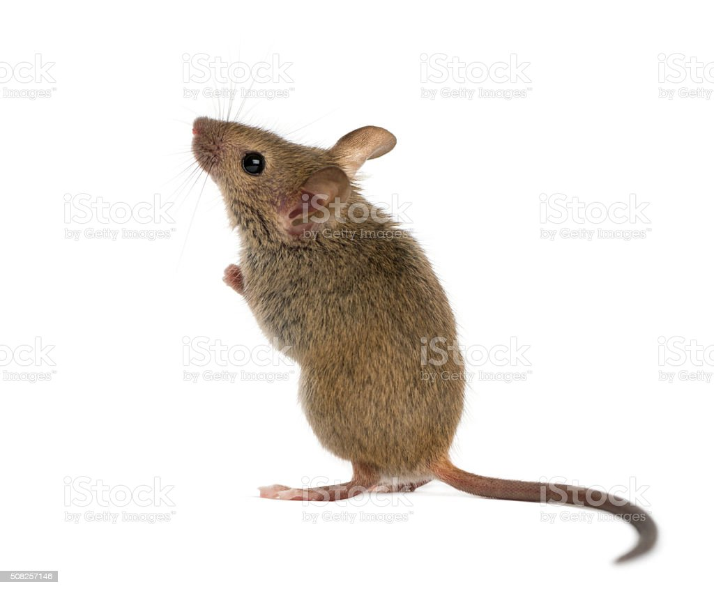 Wood mouse looking up in front of a white background stock photo