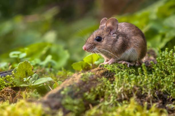 Wood mouse on forest floor picture id862065920?b=1&k=6&m=862065920&s=612x612&w=0&h=xjomsgnzcwhjoqjsrvz3qnujldcheh1 xnvsbrknduq=