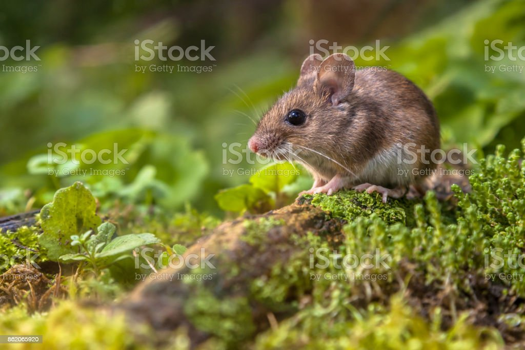 Wood mouse on forest floor stock photo