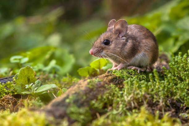 wood mouse on forest floor - forest animals stock photos and pictures