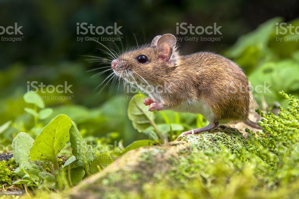Wood mouse on root of tree stock photo