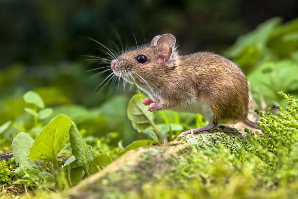 wood mouse an der wurzel tree - maus stock-fotos und bilder