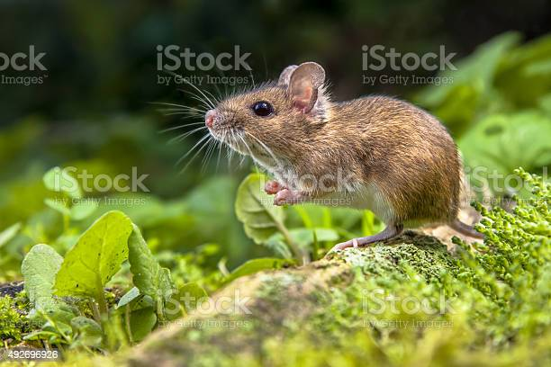 Wood Mouse On Root Of Tree Stock Photo - Download Image Now