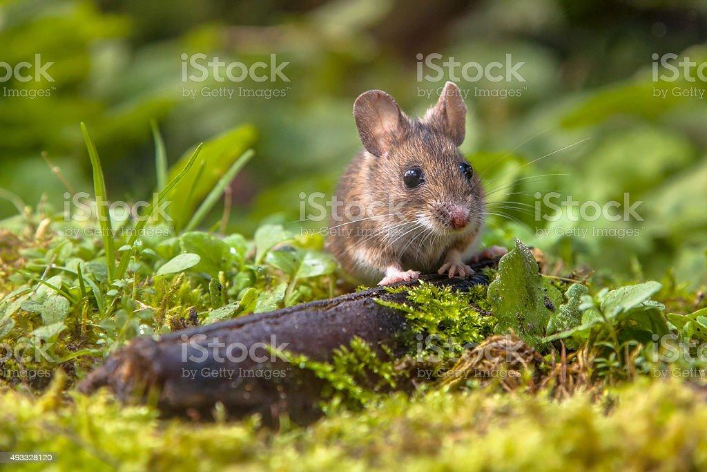 Wood mouse peeking stock photo