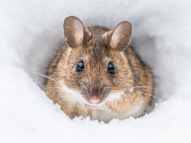 Wood mouse stock photo