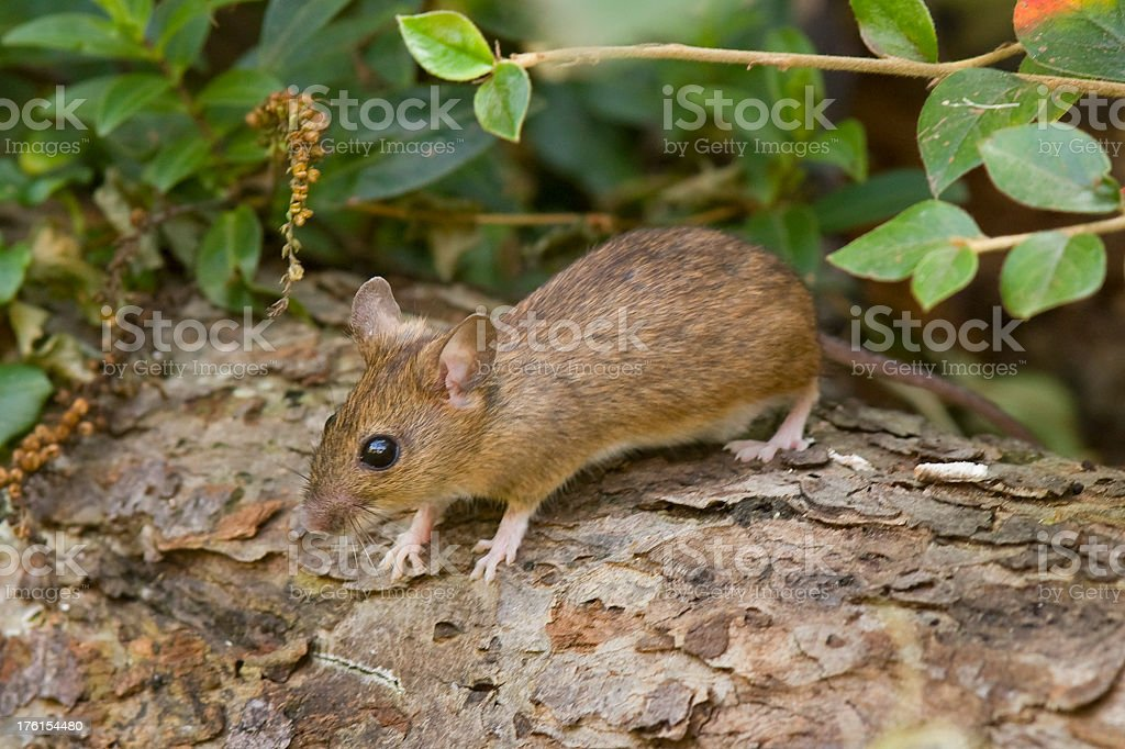 Wood Mouse  (Apodemus sylvaticus) stock photo