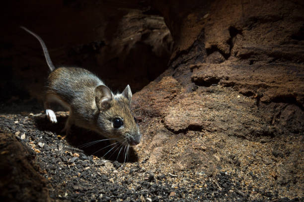 Wood Mouse (Apodemus sylvaticus) stock photo