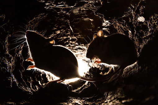 Underground picture of mouse