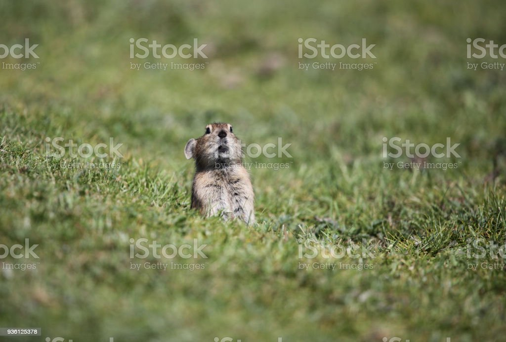 Wood mouse sitting in green moss stock photo