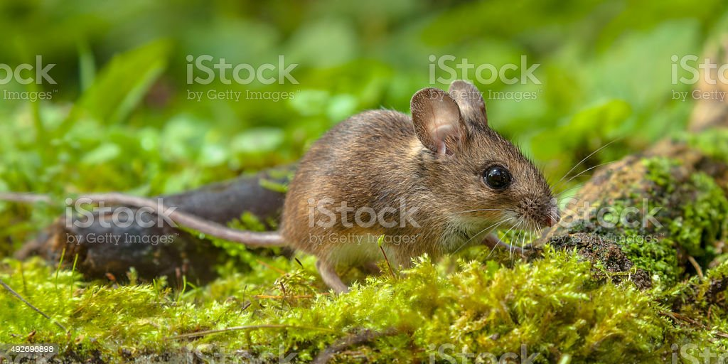 Wood mouse walking on forest floor stock photo