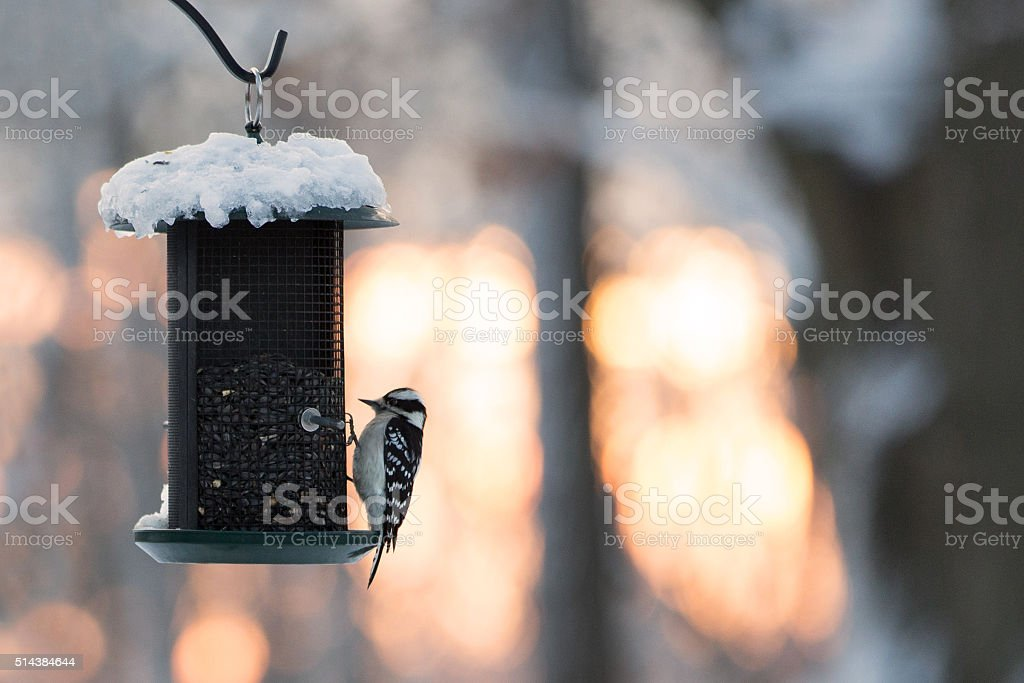 Wood pecker on a Bird Feeder stock photo
