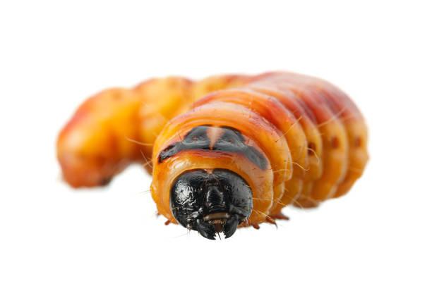 Wood pest caterpillar portrait stock photo