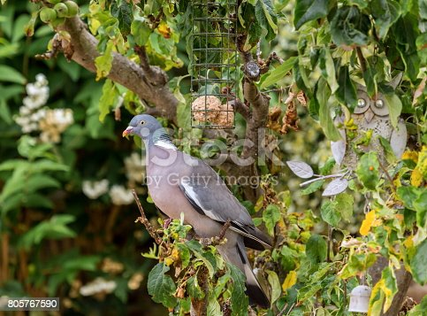 The common wood pigeon is a large species in the dove and pigeon family. It belongs to the Columba genus and, like all pigeons and doves, belongs to the family Columbidae.