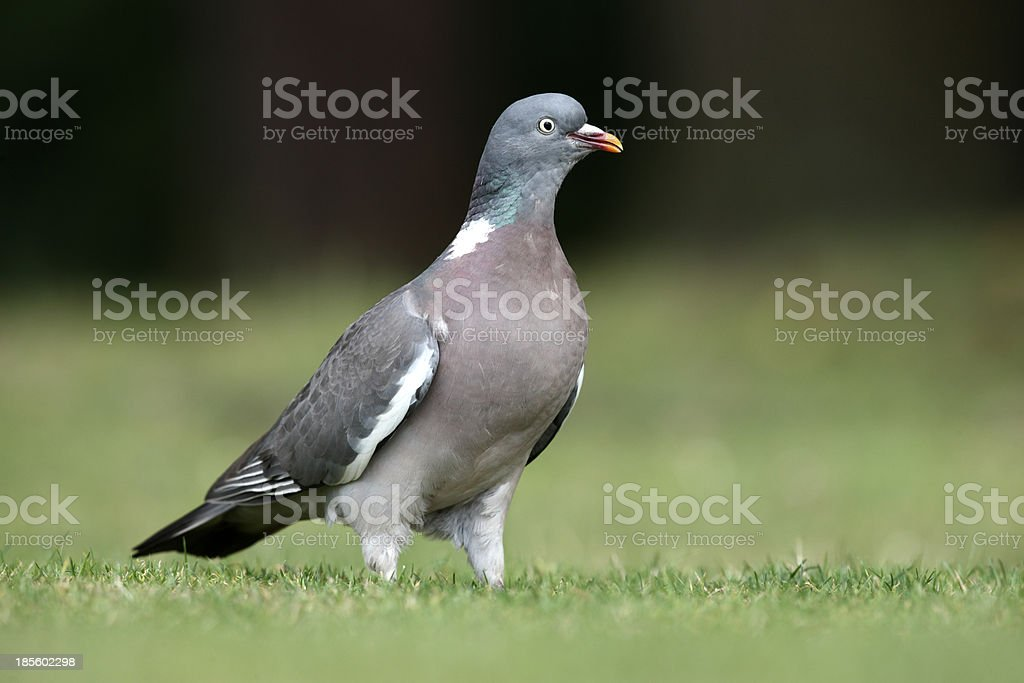 Wood pigeon, Columba palumbus stock photo