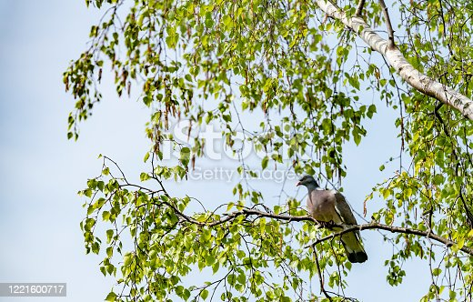 Wood pigeon in a silver birch tree.