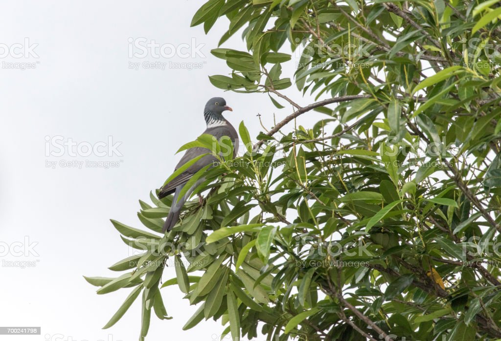 wood pigeon in tree stock photo