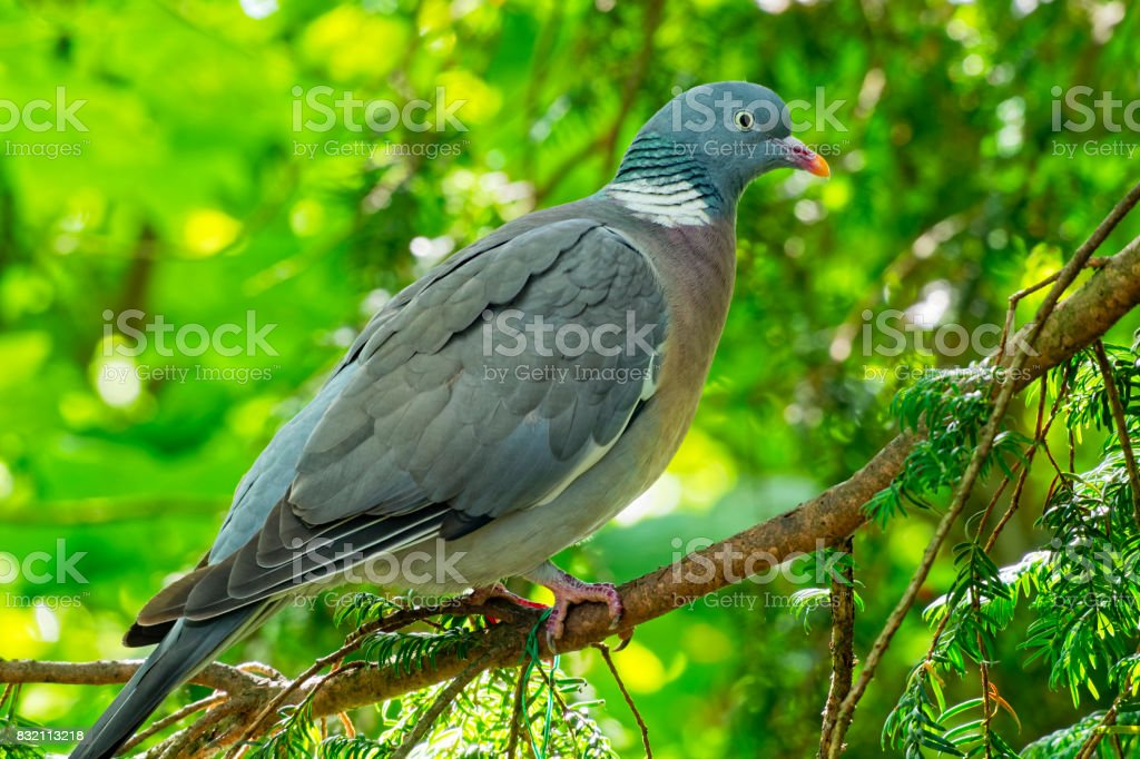 Wood pigeon perched in a tree. stock photo