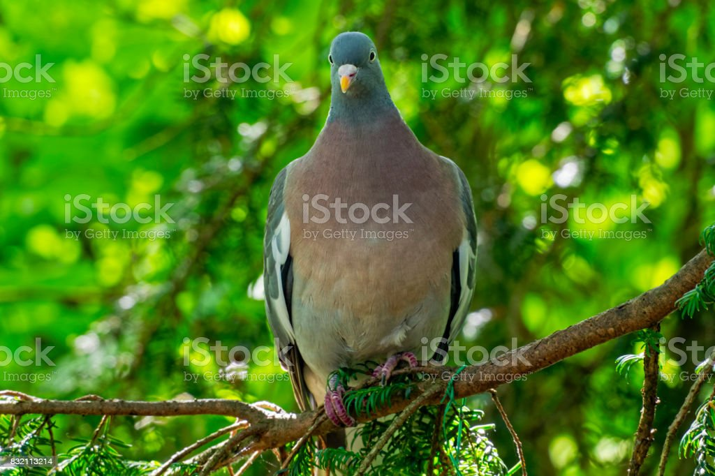 Wood Pigeon stock photo