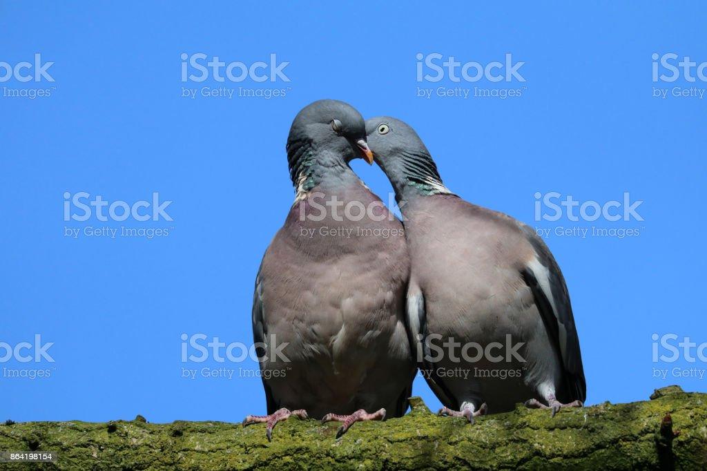 Wood pigeons royalty-free stock photo