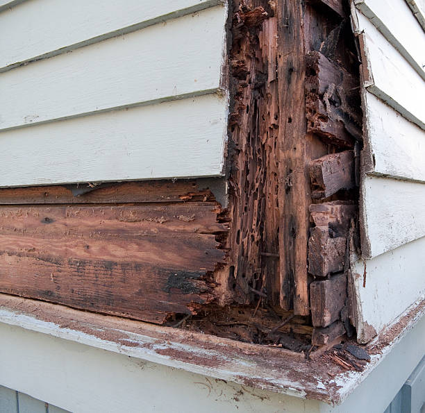Wood Rot Termite damage and wood rot showing beneath siding. 3rd in a series. rotting stock pictures, royalty-free photos & images