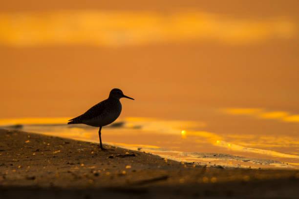 Holzsandpiper (Tringa glareola). Silhouette eines Vogels auf dem Hintergrund des Sees bei Sonnenaufgang. Polesie. Ukraine – Foto