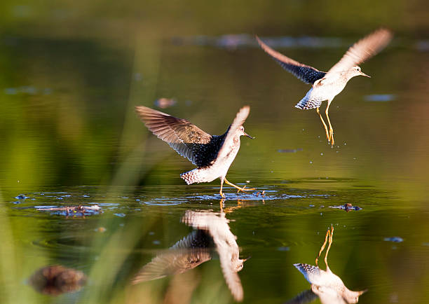 Wood Schnepfenvögel (Tringa glareola – Foto