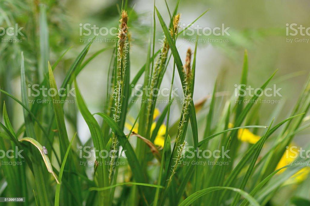 Wood sedge (Carex sylvatica) stock photo