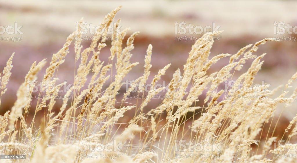Duinriet of bushgrass (Calamagrostis epigejos) foto