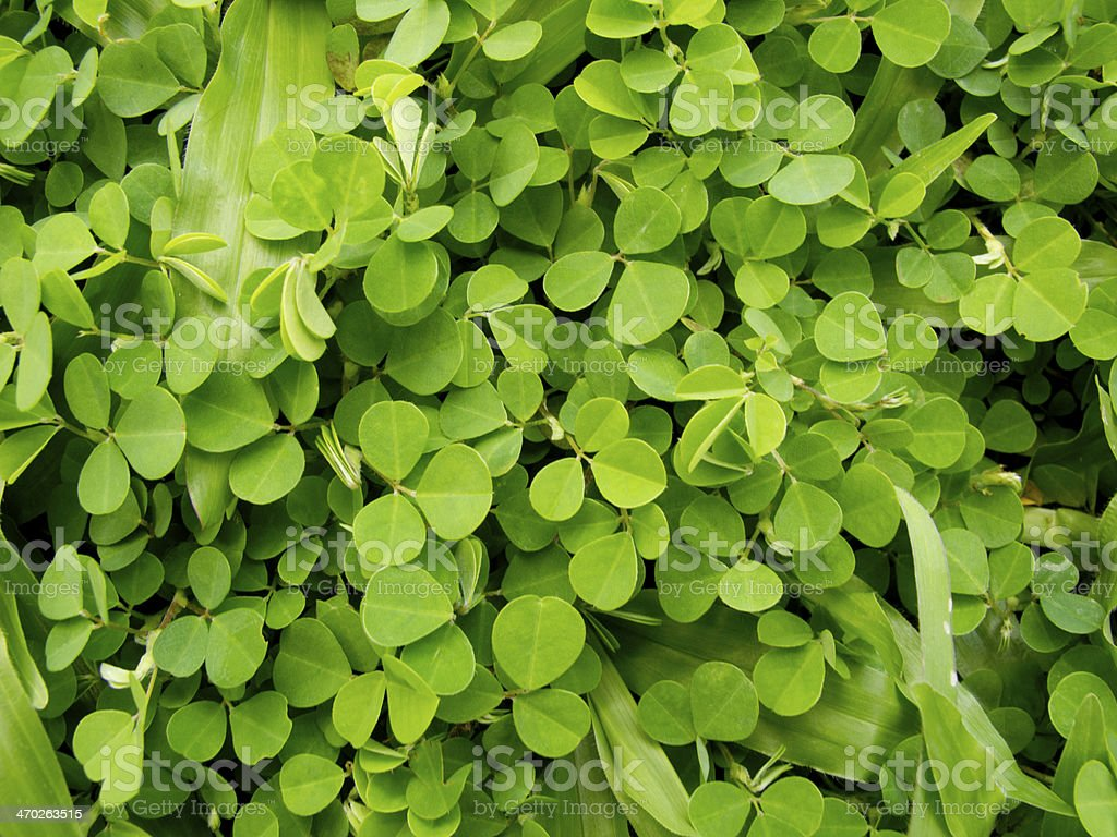 Wood sorrel or Oxalis acetosella L. stock photo