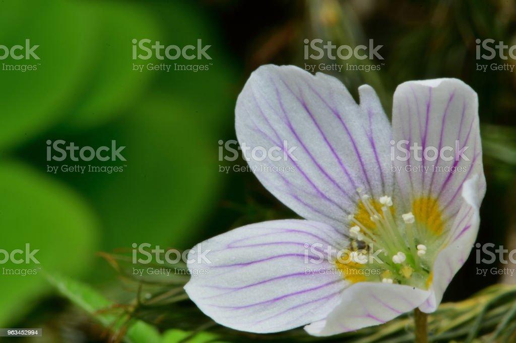 Wood sorrel (Oxalis acetosella) - Zbiór zdjęć royalty-free (Bez ludzi)