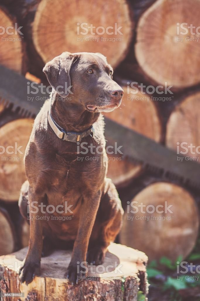Wood Stack with Vintage Saw and Dog stock photo