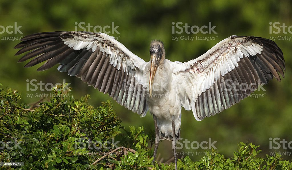 Wood Stork Family stock photo