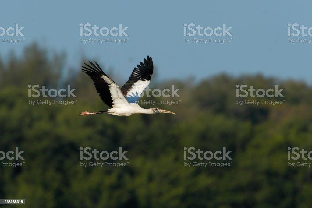 Wood stork (Mycteria americana) flying,  Ding Darling NWR, Florida, USA stock photo