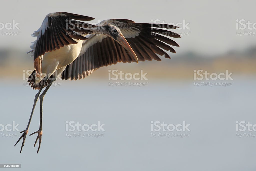 Wood stork (Mycteria americana) flying, Lake Marian, Florida, USA stock photo