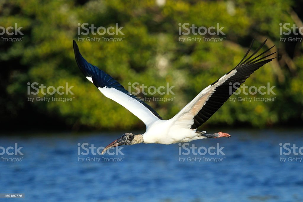 Wood stork flying low above water stock photo