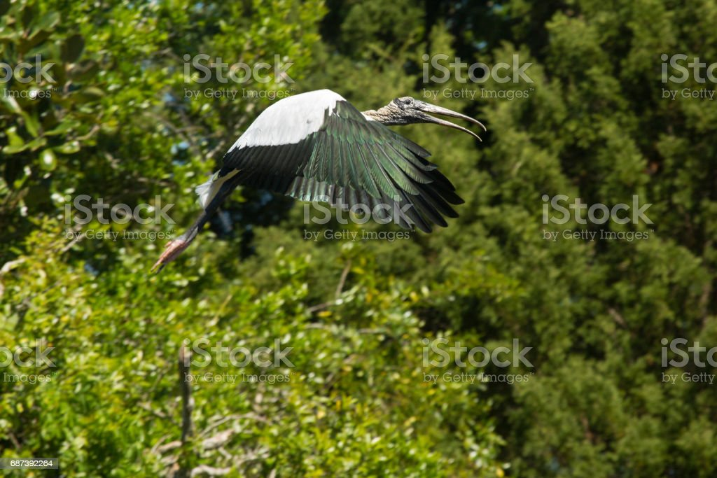 Wood stork flying near shrubs of a rookery in Florida. stock photo