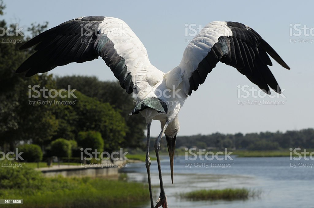 Wood Stork Spreading its Wings royalty-free stock photo