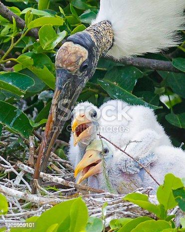 istock Wood storks nesting 1325959101