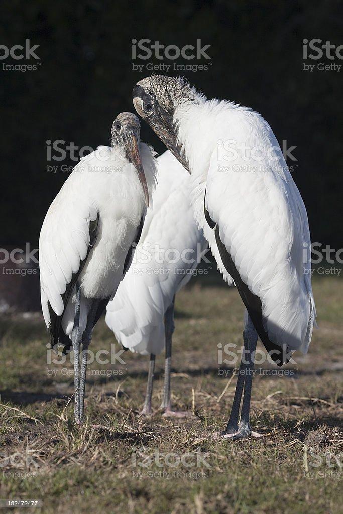 Wood Storks stock photo