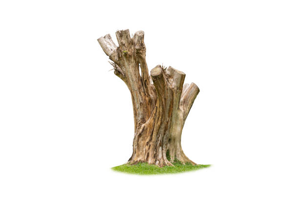 wood Stump isolated on white background with clipping path stock photo