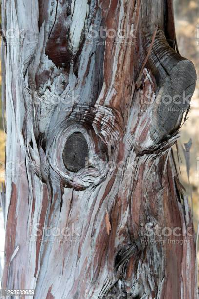 Photo of Wood texture and background, Lyonothamnus floribundus  bark