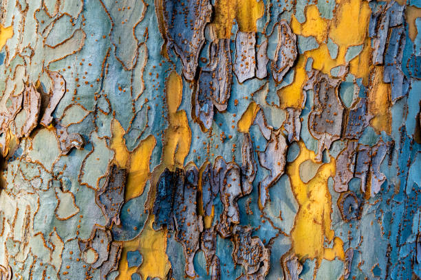 Wood texture and background of a sycamore tree stock photo