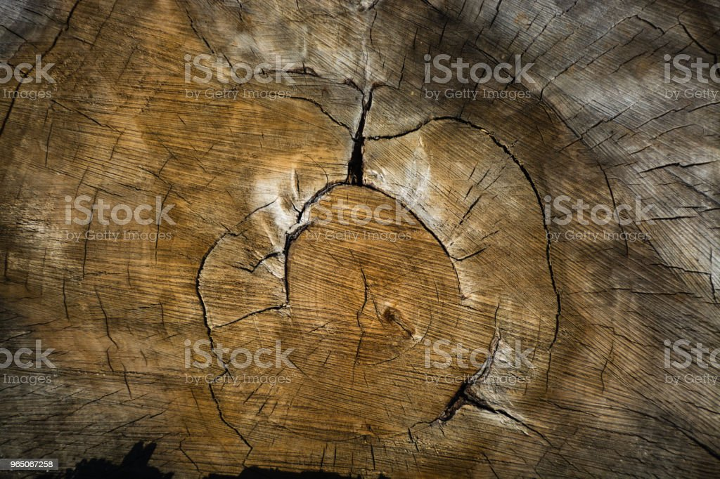 Wood texture of cutted tree trunk royalty-free stock photo
