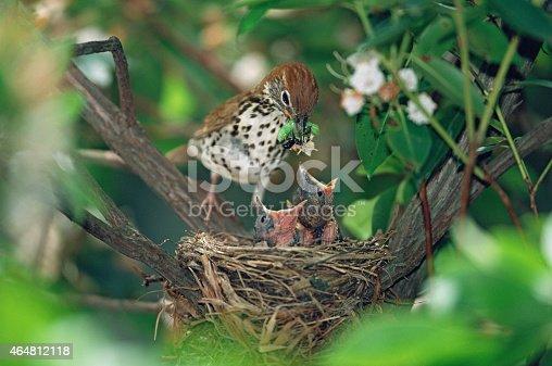 istock Wood Thrush with hungry chicks 464812118