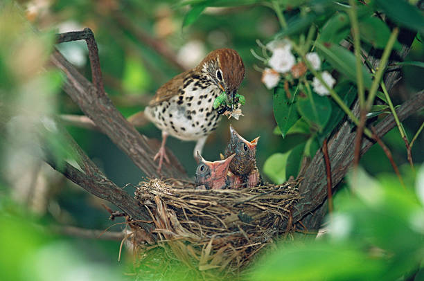 Wood thrush with hungry chicks picture id464812118?b=1&k=6&m=464812118&s=612x612&w=0&h=nywc6ioblczg8kavzblxxlnaw03om8lgqz64e1zyde8=