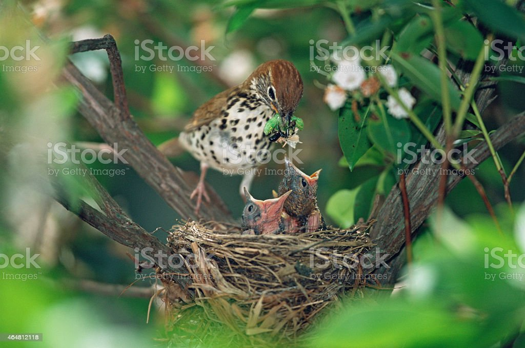 Wood Thrush with hungry chicks stock photo