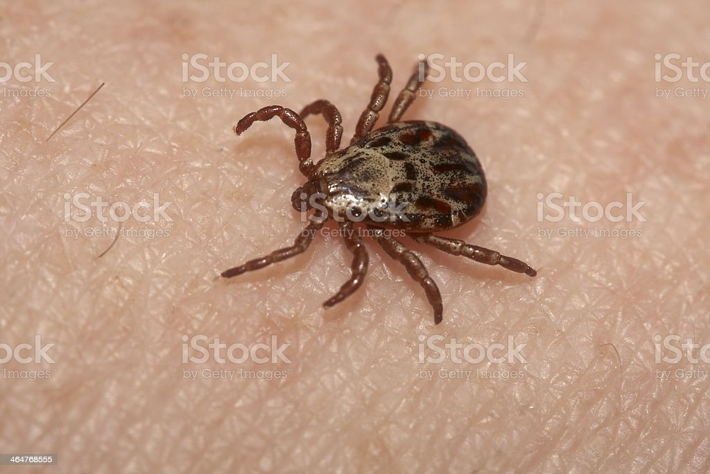 Wood tick stock photo