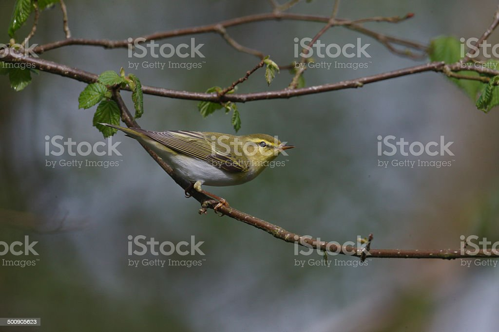 Wood warbler, Phylloscopus sibilatrix, stock photo